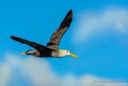 Albatros auf Española - die Landung ist immer witzig anzuschauen