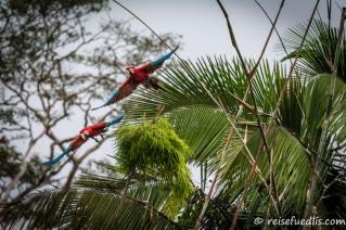 Ara macao: Er ist einer der größten Papageien der Welt. Er kann eine Länge von bis zu 90 cm und ein Gewicht von bis zu 1 kg erreichen