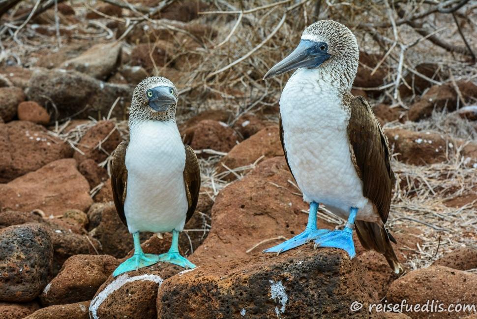 Blaufusstölpel-Paar auf North Seymour - man beachte die unterschriedlich blauen Füsse. Es scheint als sei Er der erfolgreichere Fischer