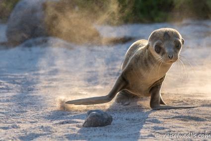 Seelöwen-Baby auf San Cristobal