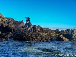 Pinguin - lustiger Moment, wenn man während des Schnorchelns den Kopf aus dem Wasser hebt und da doch ein Pinguin steht