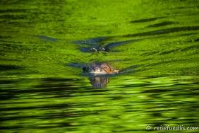Von allen Otterarten ist der Riesenotter - wie sein Name andeutet - mit einer Gesamtlänge von bis zu 1,8 Metern der grösste