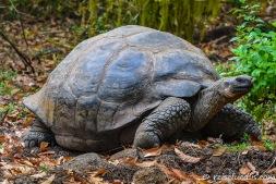 Galapagos-Riesenschildkröte auf Santa Cruz