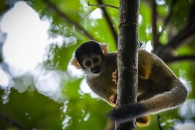 Die Totenkopfäffchen sind eine Primatengattung aus der Familie der Kapuzinerartigen