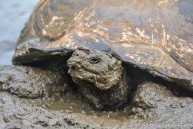 Galapagos-Riesenschildkröte im beliebten Schlammbad