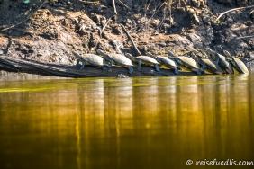 Amazonas Wasserschildkröten