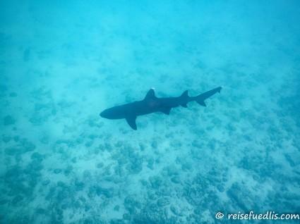 Weissspitzen-Riffhai - ein ziemlich kleiner Hai