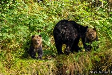 Grizzlybär-Familie