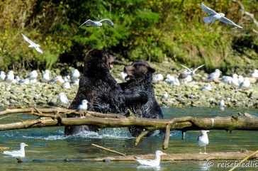 Grizzlybär-Brüder bei einer kleinen Auseinandersetzung
