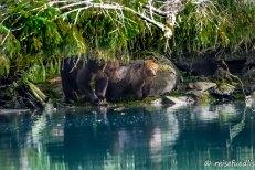 Mutter Grizzlybär mit Jungem beim Fischen