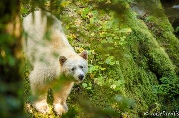 Spiritbär im Regenwald