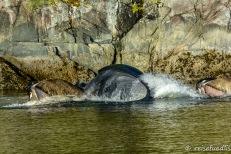 Buckelwale beim grossen Fressen