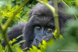 Die zunehmende touristische Erschließung der beiden Habitate rund um die Virunga-Vulkane sowie im Bwindi Impenetrable National Park in Uganda – der als UNESCO-Weltnaturerbe anerkannt ist – gewährleistet in Verbindung mit dem Einsatz von Park-Rangern und Tierärzten einen einigermaßen guten Schutz der Berggorillas vor Lebensraumzerstörung und Wilderei. (Quelle: Wikipedia)