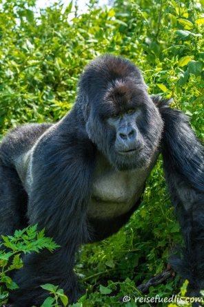 Berggorillas haben den stämmigen Körperbau, der typisch für die Gorillas ist. Sie erreichen in normaler aufrechter Haltung stehend eine Höhe von bis zu 1,75 Meter, mit bis zu 200 Kilogramm können Männchen doppelt so schwer werden wie Weibchen. (Quelle: Wikipedia)