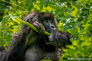Verglichen mit anderen Gorillas nehmen Berggorillas deutlich weniger Früchte zu sich. Blätter stellen den Hauptbestandteil ihrer Nahrung dar. Die täglichen Streifzüge, die diese Tiere bei der Nahrungssuche zurücklegen, sind mit durchschnittlich 0,4 Kilometern sehr kurz. Das liegt zum einen am meist üppigen Angebot an Blättern und zum anderen am geringen Nährwert dieser Nahrung, was die Tiere mit langen Ruhephasen wettmachen. (Quelle: Wikipedia)