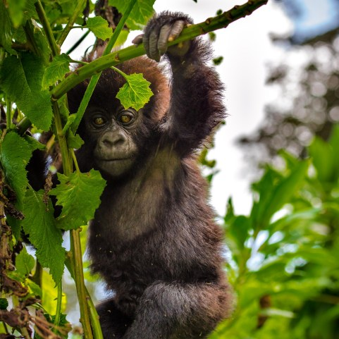 Das Gorilla-Baby war immer am Herumturnen