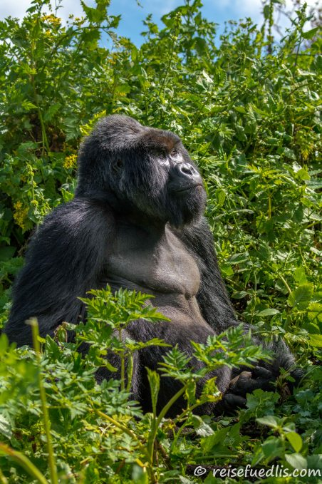 Berggorillas bewohnen zwei kleine Gebiete im östlichen Afrika, das Gebiet der Virunga-Vulkane und den Bwindi-Wald.
