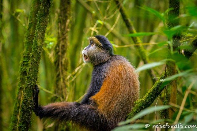 Goldmeerkatzen bewohnen ausschließlich einige kleine Gebiete im Bereich der Virunga-Vulkane und rund um den Kivusee in den Ländern Demokratische Republik Kongo, Uganda und Ruanda. (Quelle: Wikipedia)